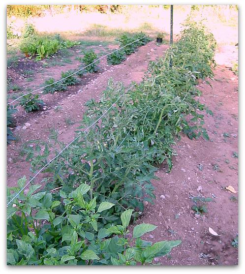 Tomato Plants: Leave the Little Suckers Alone - Tall Clover Farm