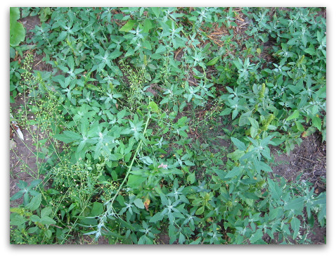 weeds sprout from horse manure