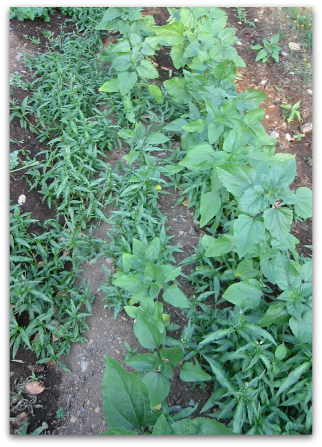 sunflowers crowded out by weeds from seeds from horse manure