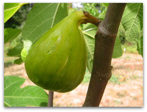 very ripe desert king fig and ready to pick