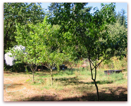 Charlotte peach tree, Q-1-8 white peach tree, Indian Free peach tree from right to left