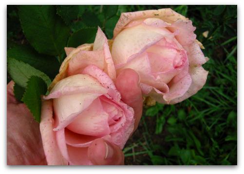 2009_10_06_blog_rose