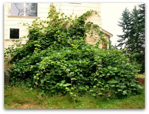 fuzzy kiwi vine takes of the south side of the house