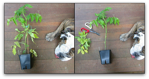 leggy tomato planted trimmed, before and after