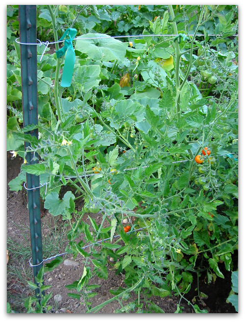 tomatoes supported by a wire t-bar trellis