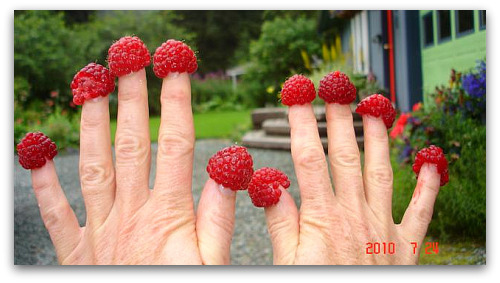 raspberries: good growing in Juneau, Alaska