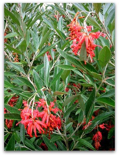 grevillea victoriae flowers
