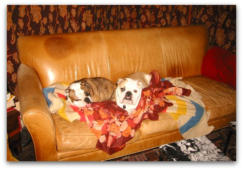 bulldogs on sofa