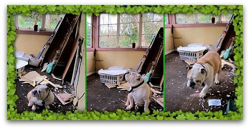Bulldog sizing the mud room