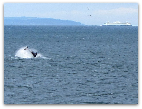 Orcas breaching on the Vashon Island run