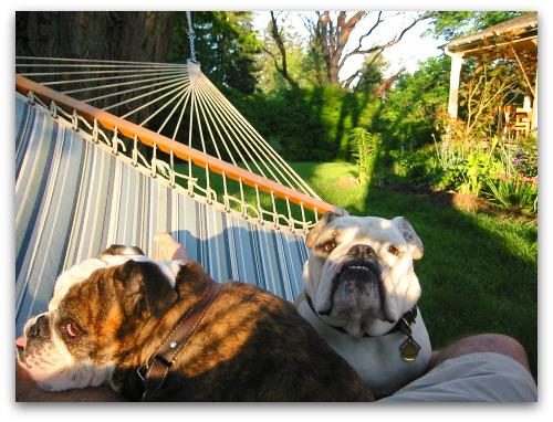 Bulldogs in the hammock