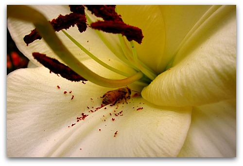 lily blossom and honeybee