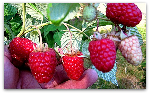 tulameen raspberries fresh picked