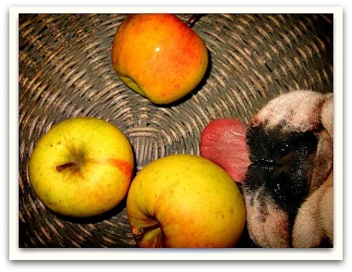 Boz the bulldog tries to snatch an apple