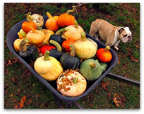 winter squash and handsome  bulldog Boz