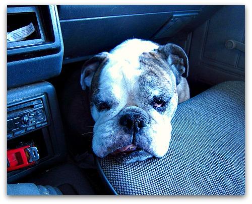 English Bulldog in a truck