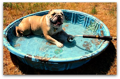 wading bulldog in a kiddie pool