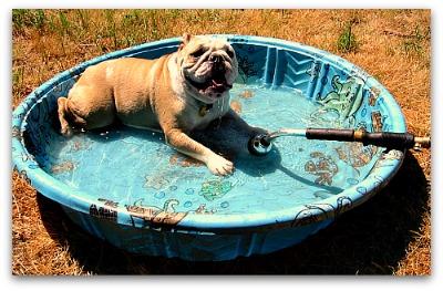 wading bulldog in a kiddie pool