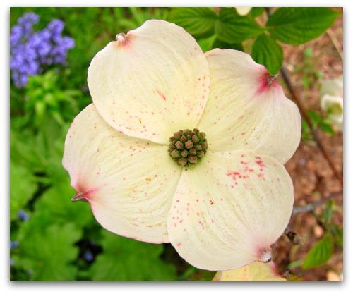 """Dogwood bloom close-up """"Cloud 9"""""""