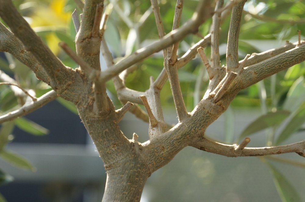 OlivenbaumSchdlinge  Wollluse und Schildluse loswerden  Talude