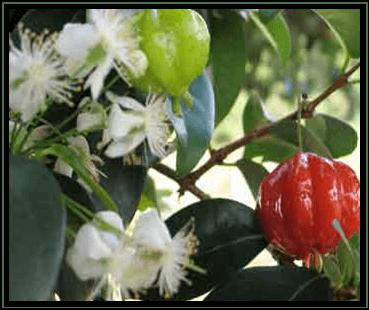 Dewandaru - Eugenia uniflora L. tanaman obat taman husada