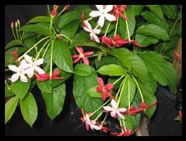 Ceguk - Quisqualis indica - tanaman obat taman husada