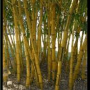 Bambu Kuning - Bambusa vulgaris Schrad. - tanaman obat taman husada