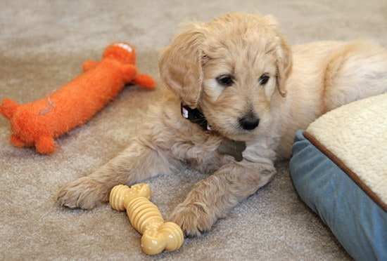 Kona, my Goldendoodle puppy!