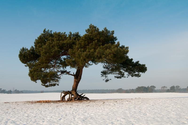 Soester Duinen - Walking tree winter