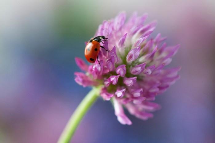 Lieveheersbeestje op rode klaver kleurrijk