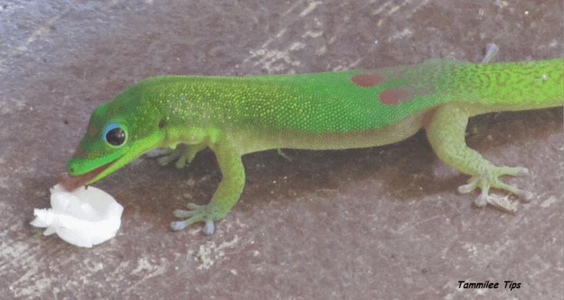 Green Hawaiian Lizard