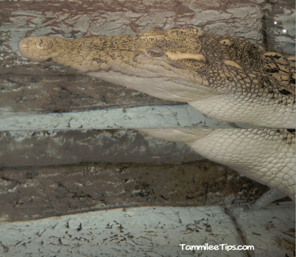 Mandalay-Bay-Shark-Exhibit-Alligator.png