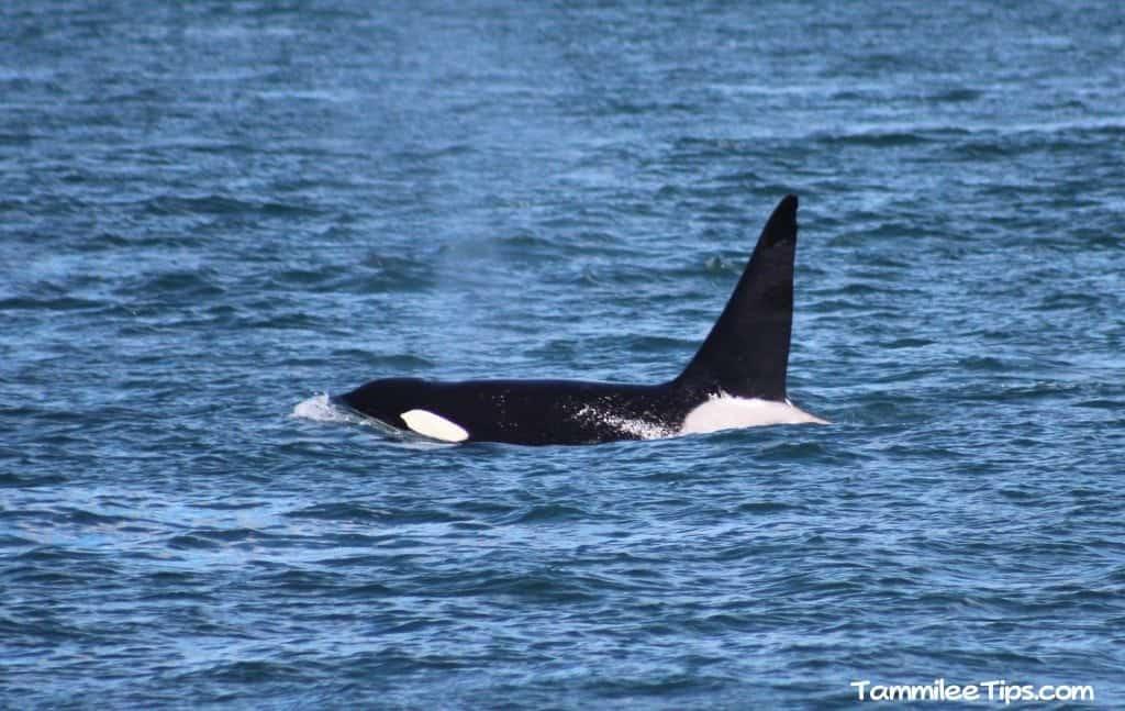 Orca Whale San Juan Excursions Whale Watching Trip