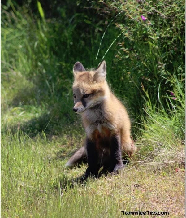 San Juan Island Foxes 4