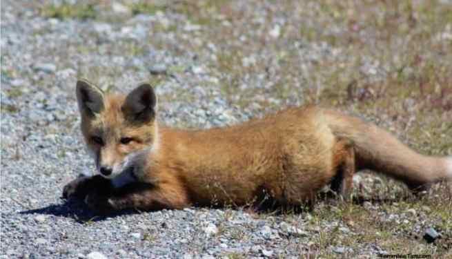 San Juan Island Foxes 6