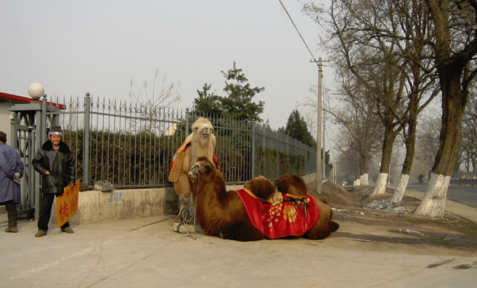 Bite, Spit or Split in Half on a camel in Beijing China