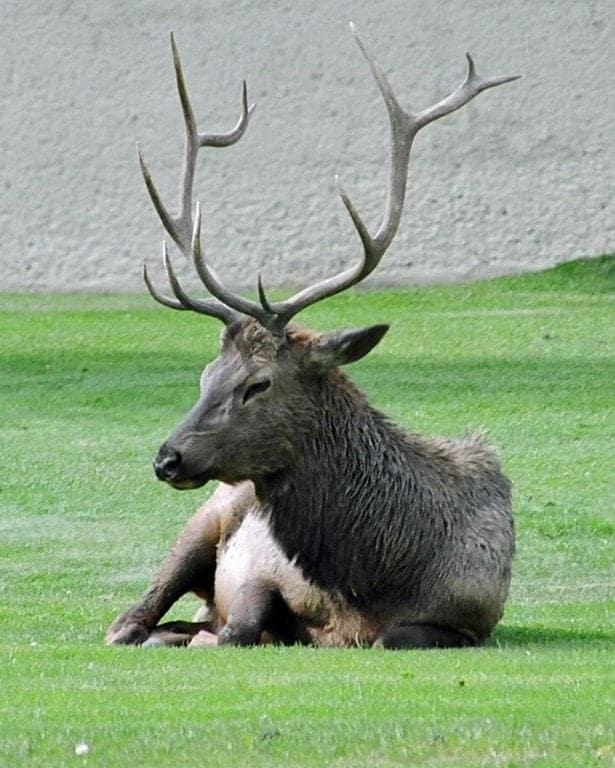 Elk-on-lawn.jpg
