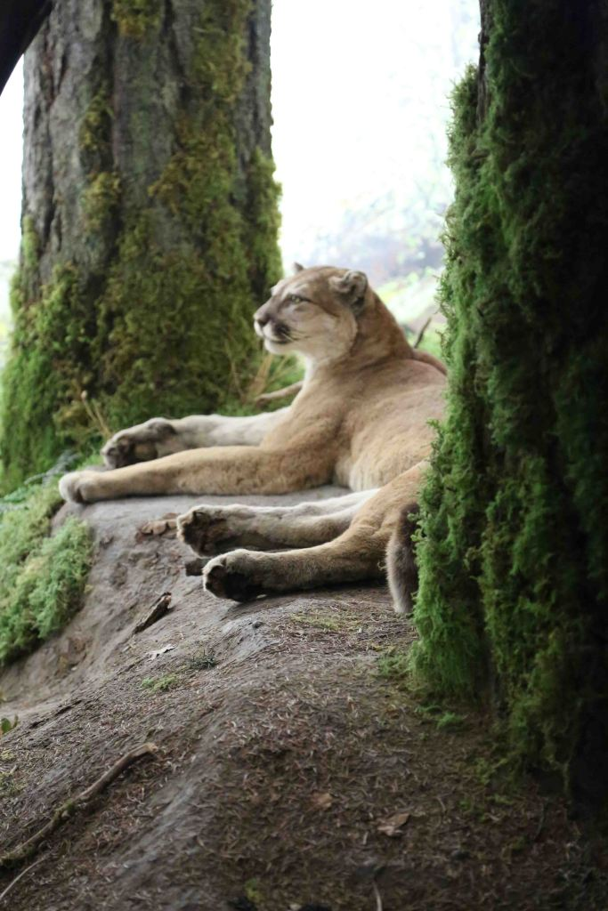 Blog Cougar at Royal BC Museum Victoria BC