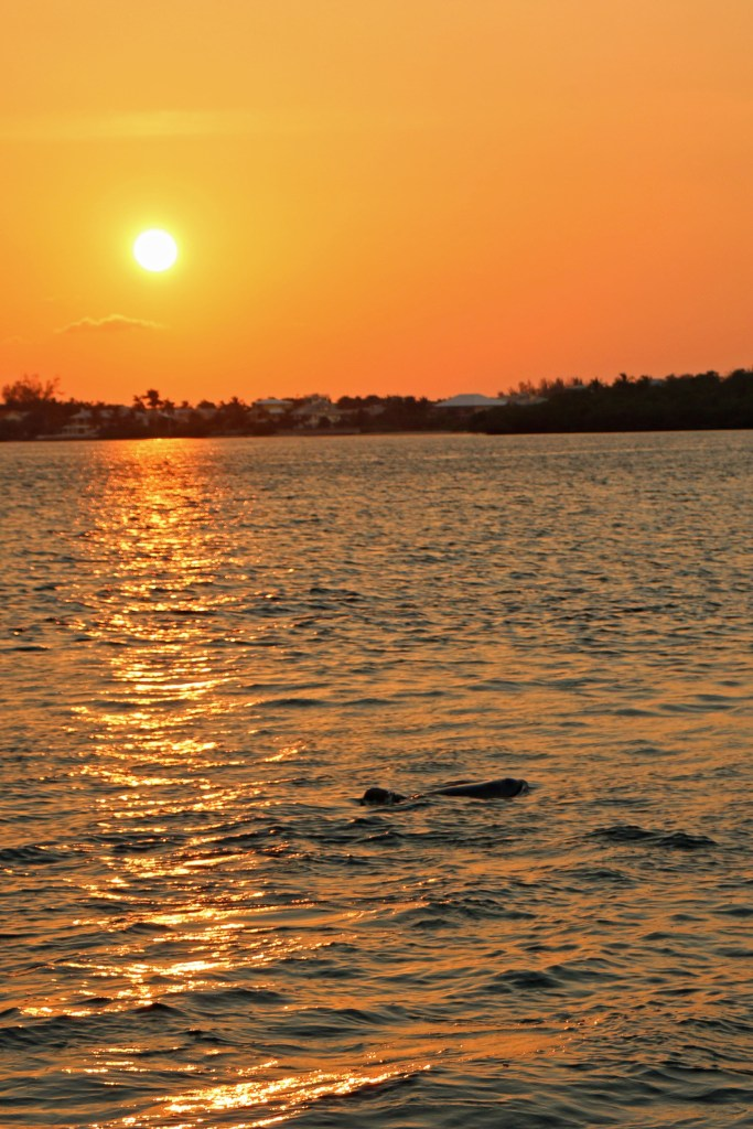 dolphin and sunset  on cruise sanibel
