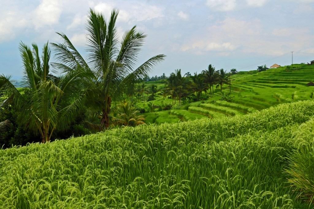 UNESCO World Heritage Rice Terraces in Bali