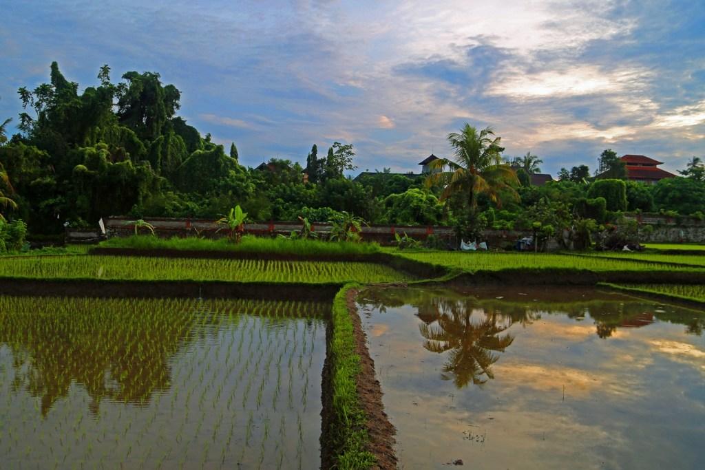 Rice Paddies Ubud