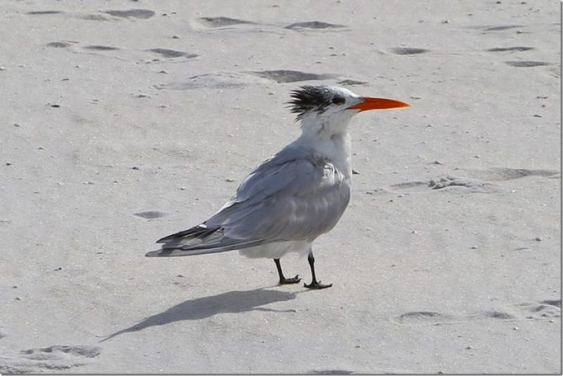 Royal Tern at Gulf Islands National Seashore