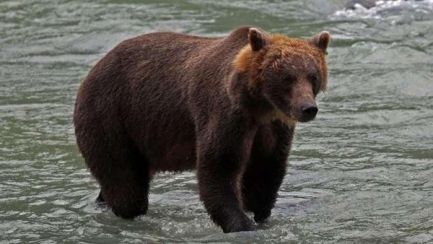 Brown Bear in river Haines Alaska