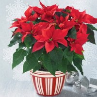 Poinsettia Planter from Tammys Floral