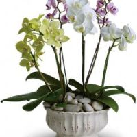 Regal Orchids from Tammys Floral