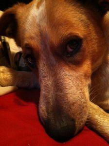 Sweet Dogs. Rosemary Dachshund/Blue Heeler mix.