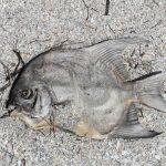 Red Tide, stench of dead fish hangs over Fort De Soto beaches 💥😭😭💥