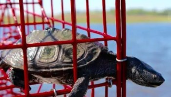 turtle stuck in crab trap
