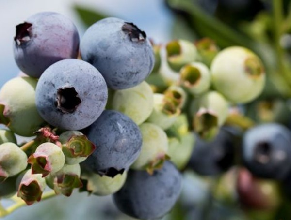 UF/IFAS-developed blueberry app to help growers battle diseases and pests