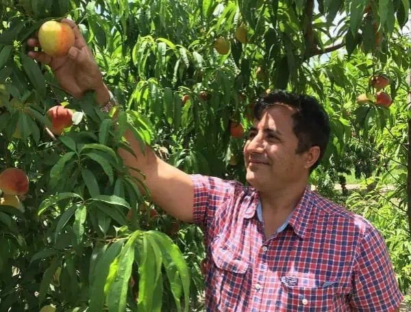 "Dr. Ali Sarkhosh, a UF/IFAS assistant professor of horticultural scienceds, looking at peaches in an orchard. Credit: ""Courtesy, Dr. Ali Sarkhosh, UF/IFAS."""